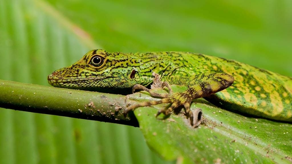amazon green rainforest lizard spotted at Yarina lodge ecuador