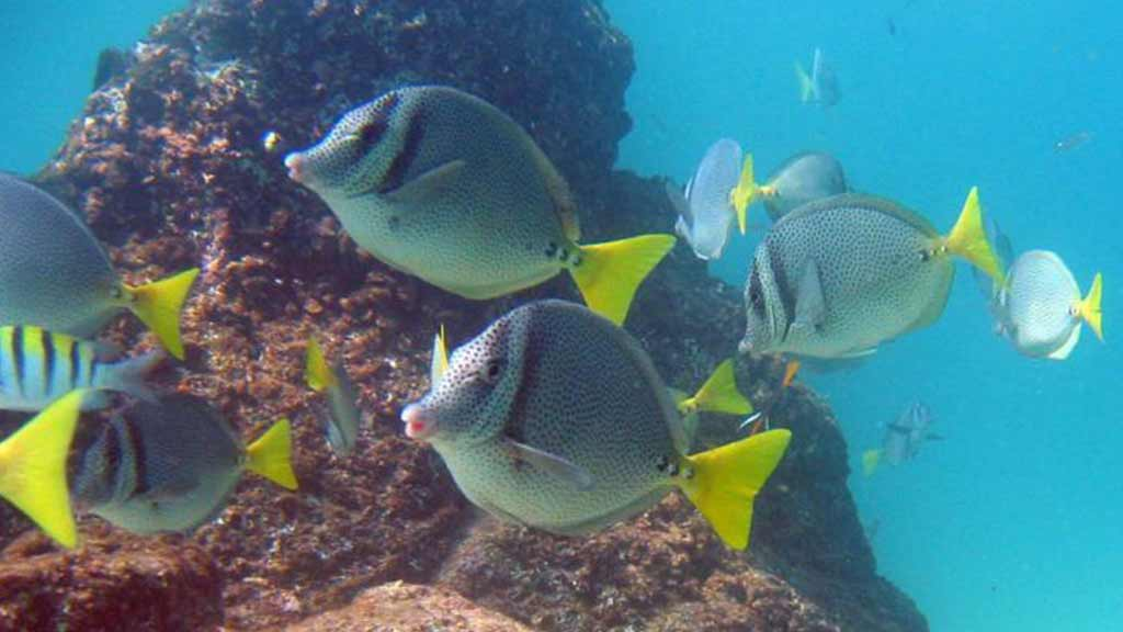 Galapagos fish - yellowtail surgeonfish at the reef