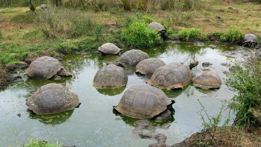 group of giant galapagos tortoises in a mud pool at el chato reserve on santa cruz island