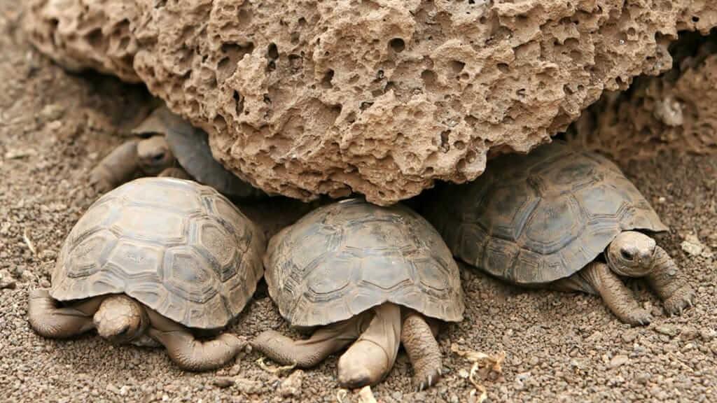 baby giant tortoises at galapagos