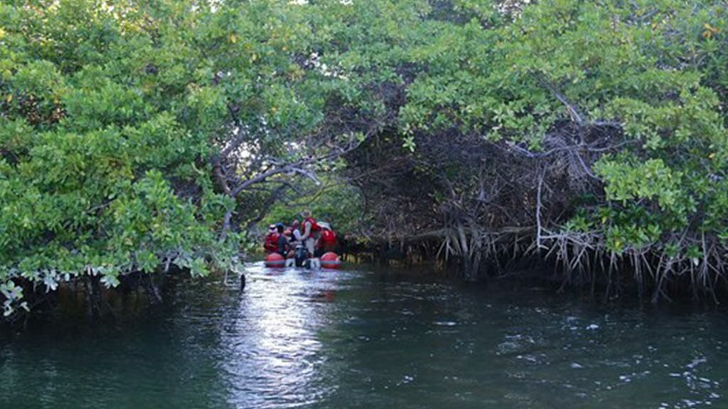 a panga takes tourists into black turtle cove mangroves on santa cruz island at galapagos