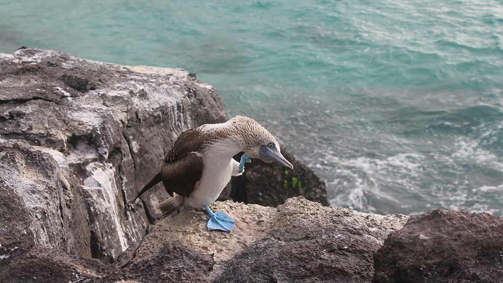 Galapagos blue footed booby bird scratching his head on cliff top above ocean