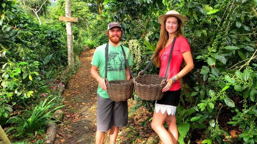 two tourists volunteer collecting coffee beans at colombia's coffee triangle