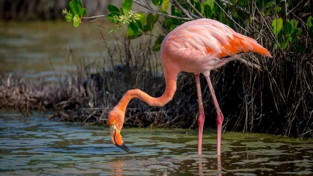 pink flamingo feeding at cormorant point floreana island galapagos