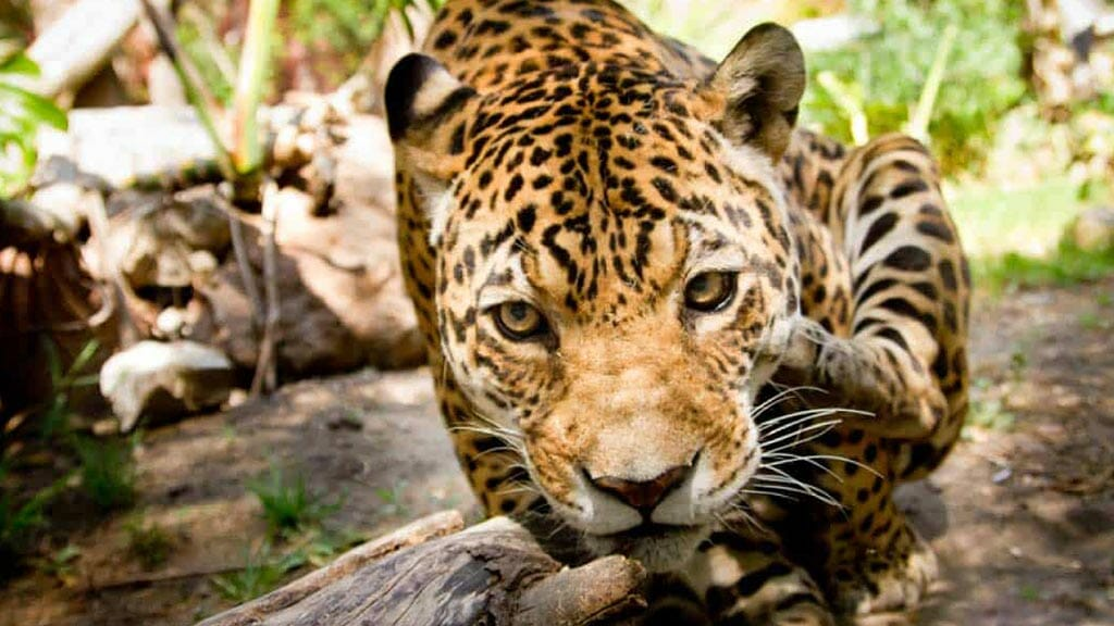 ecuador amazon rainforest jaguar sitting in the forest