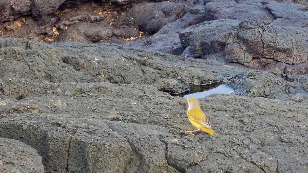 a yellow warbler hops along the black lava at puerto egas on santiago island galapagos
