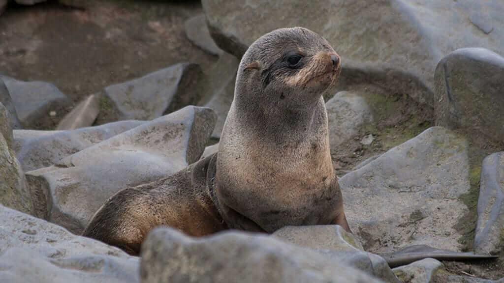 fur-seal-in-a-rock