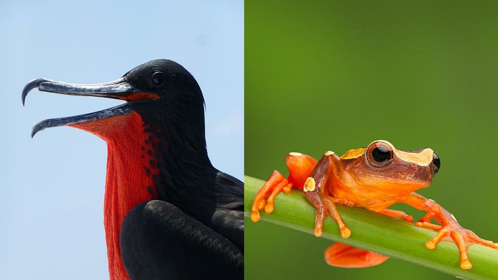 galapagos frigate bird and orange amazon frog