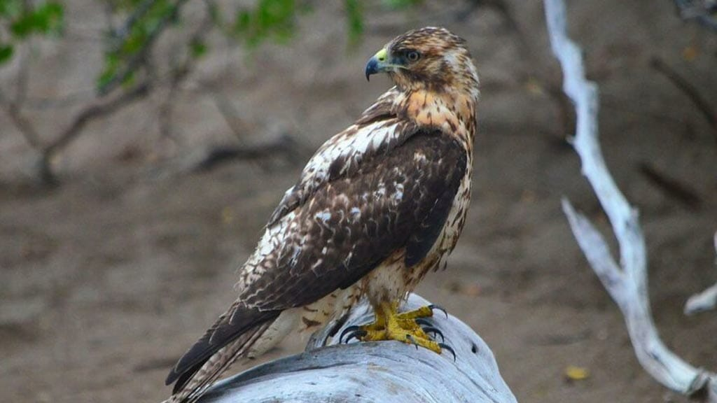 Galapagos hawk sitting on a dry log