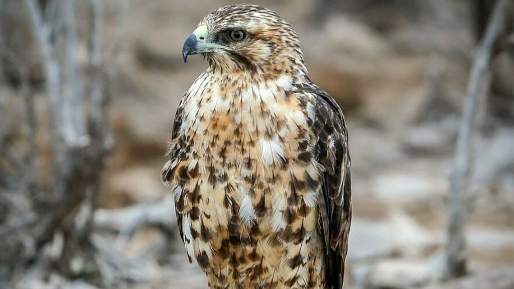 Galapagos hawk close up image with beautiful speckled plumage