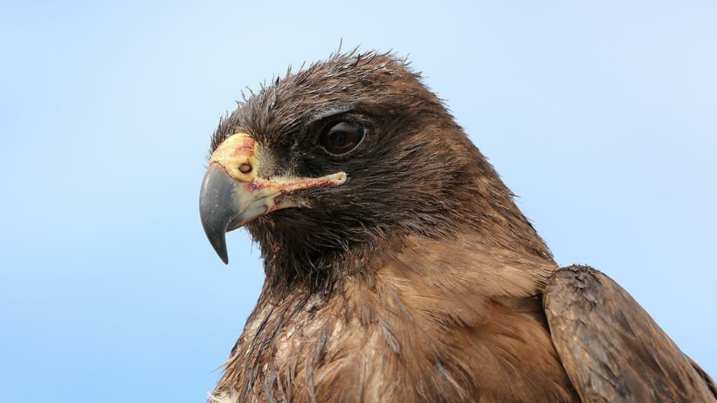closeup of Galapagos hawk head with large eye and sharp beak