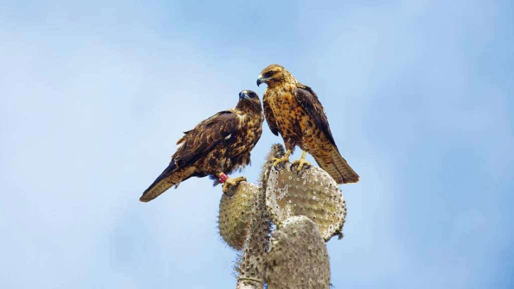 Two Galapagos hawks perch together on a opuntia cactus plant with blue sky