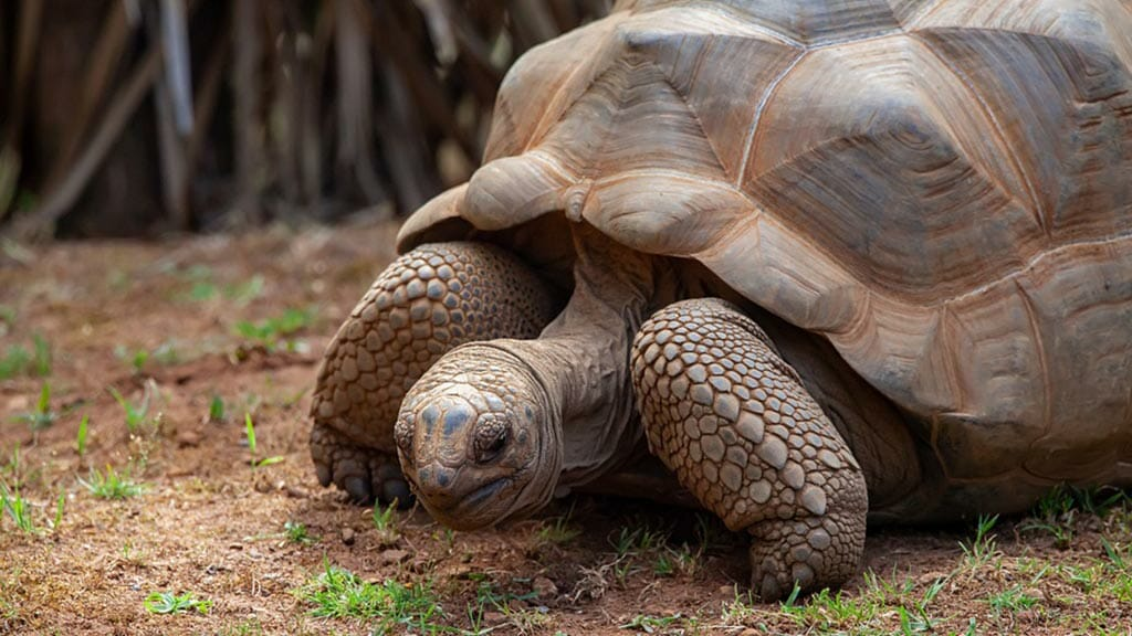 closeup of a gentle giant tortoise at the galapagos islands