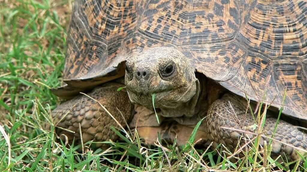 giant galapagos tortoise eating grass
