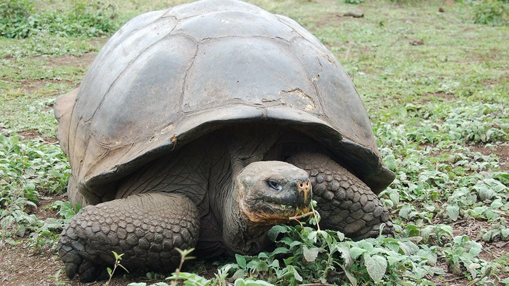 giant galapagos tortoise eating grass at the galapagos islands