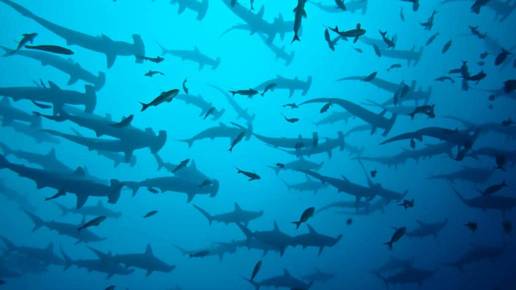 view from underneath a huge school of scalloped Galapagos hammerhead sharks
