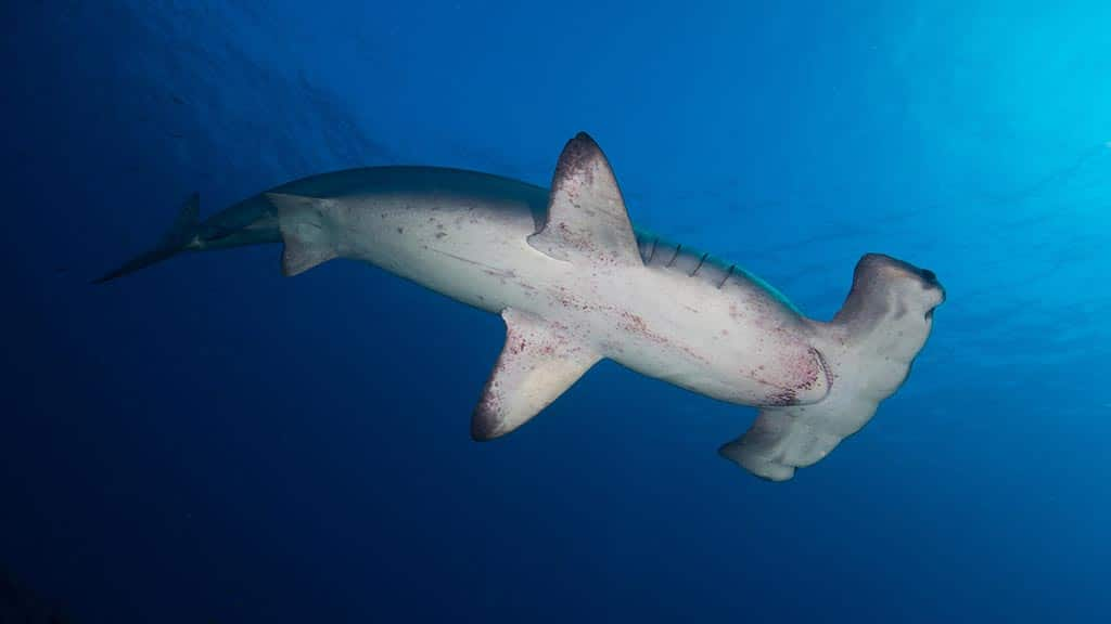 hammerhead shark as seen from below with white skin at Galapagos
