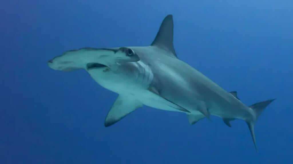 side view of a sleek Galapagos hammerhead shark against clear ocean