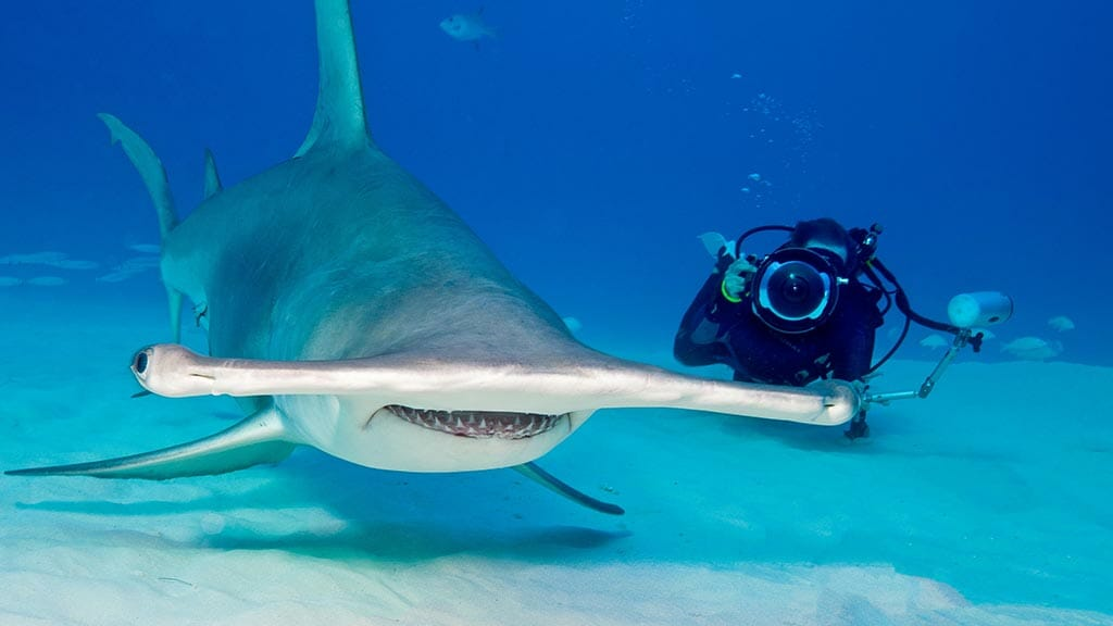 A Galapagos diver gets up close to a scalloped hammerhead sharkon the sea floor