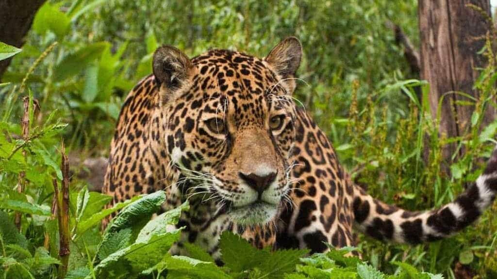 ecuador jaguar hunting and stalking prey in the rainforest