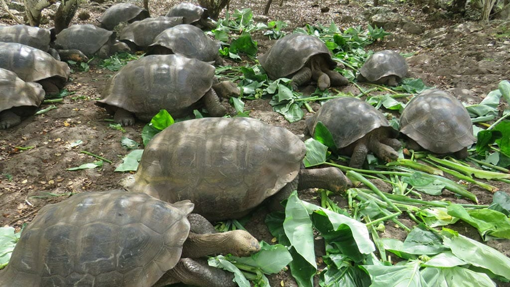 baby giant tortoises eating otoy leaves at the galapagos islands