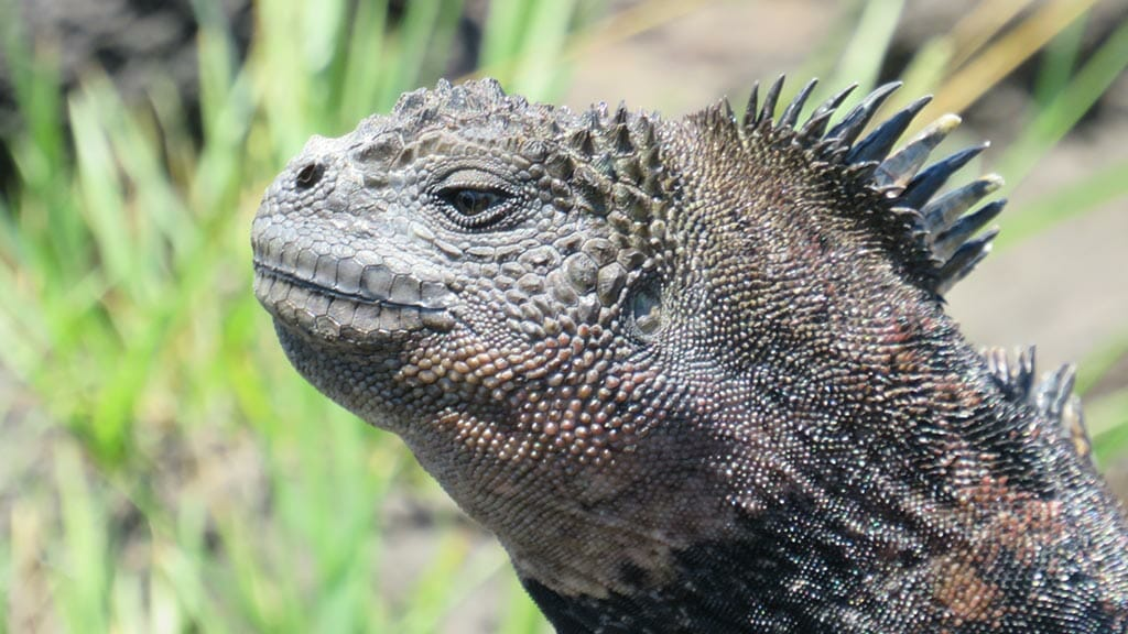 closeup of a grey marine iguana with head spikes at the galapagos islands