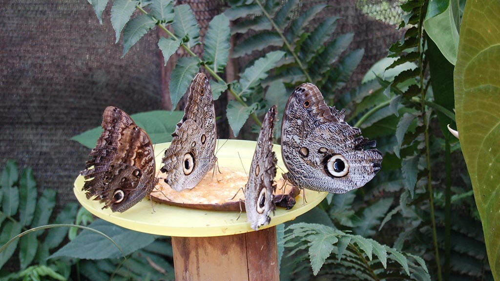 mindo owl eye butterflys makes a great day tour visit from quito city