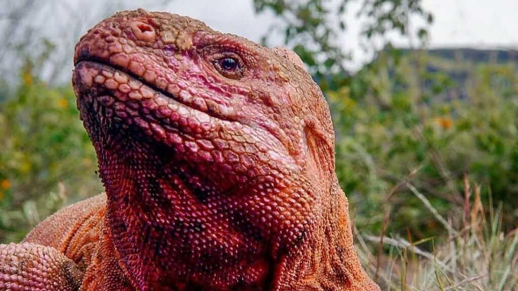 pink-iguana-in-archipelago