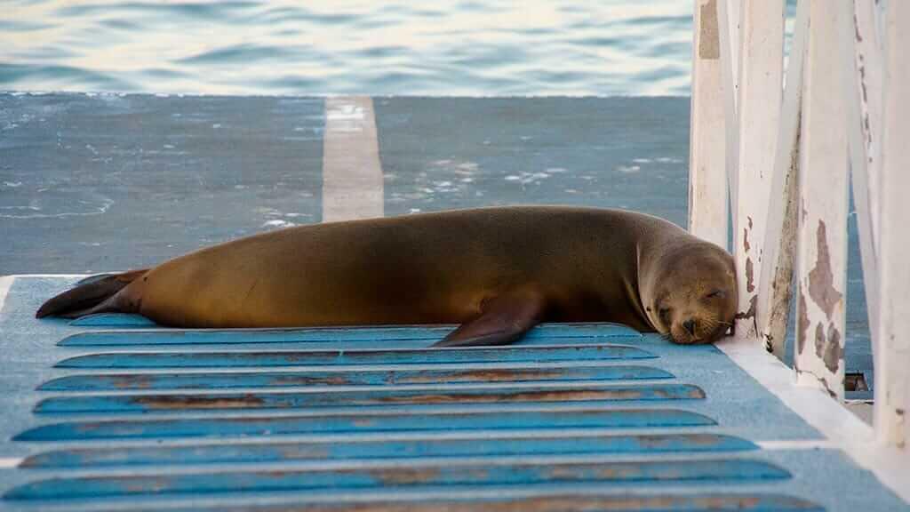A lazy puerto ayora sea lion asleep on the dock