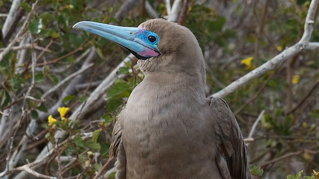 Close up of Galapagos red footed booby bird with grey feathers and sky blue beak at the Galapagos islands