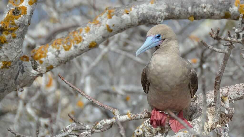 Adult red footed booby sitting in palo santo bush on Genovesa island at galapagos