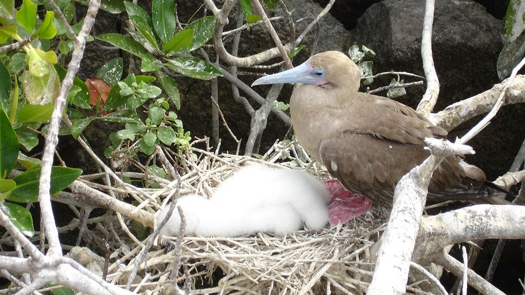 Adult red footed booby bird in nest protecting white fluffy chicks at Genovesa island Galapagos