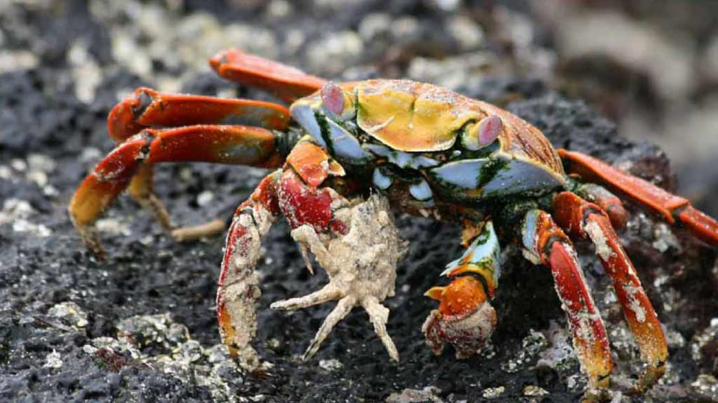 sally lightfoot crab eating from a shell