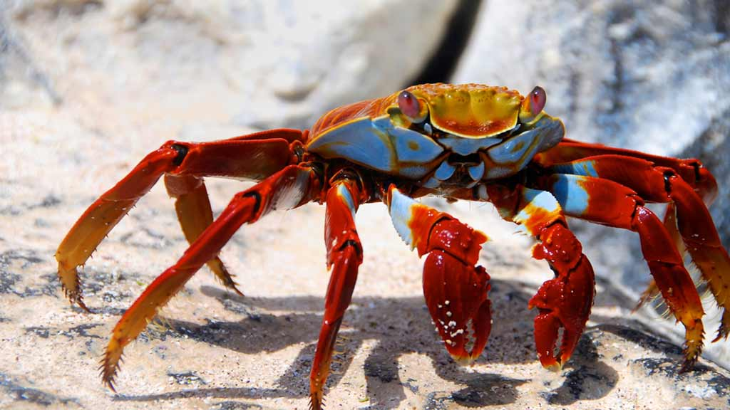 A sally lightfoot crab scuttles across the white sand at the Galapagos islands
