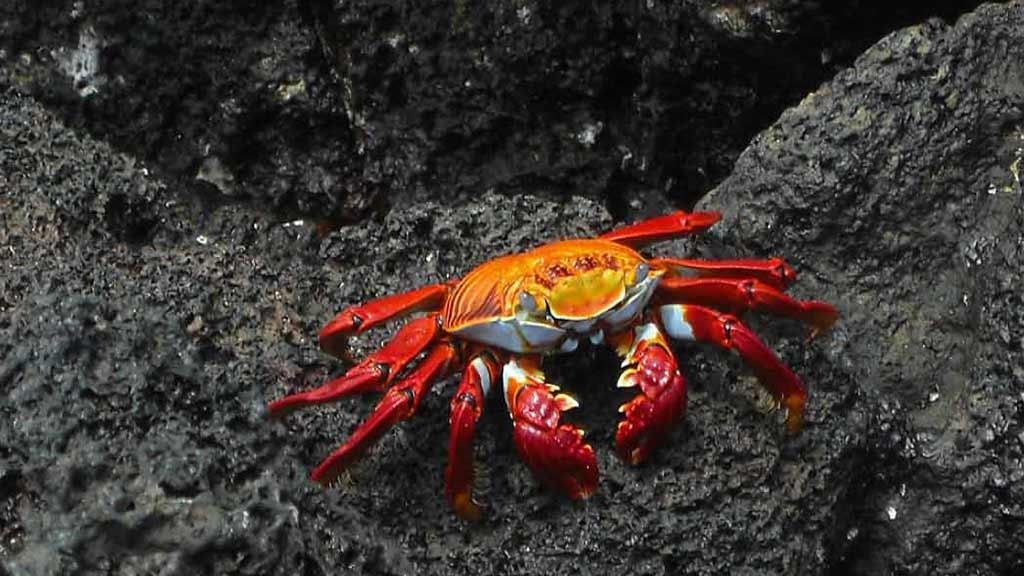 Bright red, yellow and blue shell of a Galapagos sally lightfoot crab contrast beautifully against black lava rock