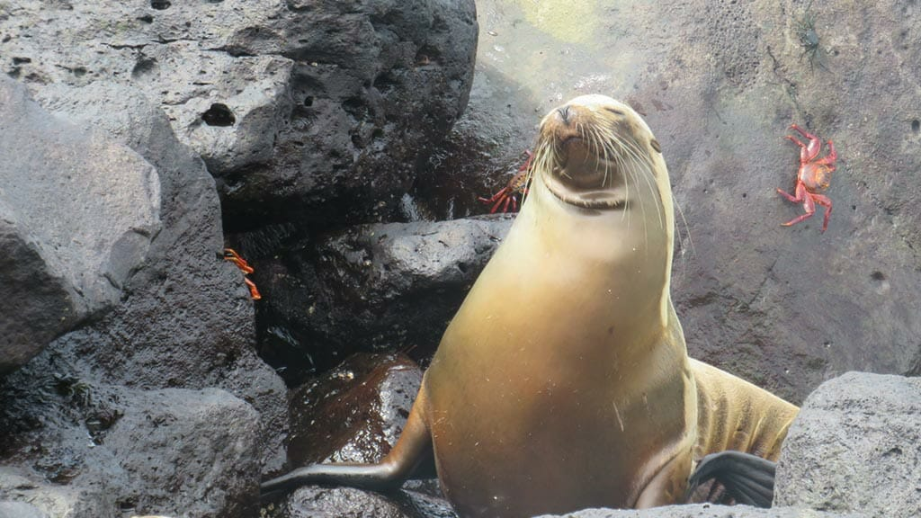 sea-lion-with-crab-in-galapagos