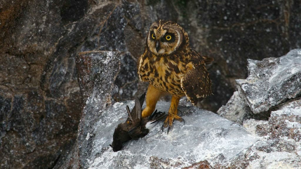 A short-eared owl at Galapagos has caught his next meal held in large talons