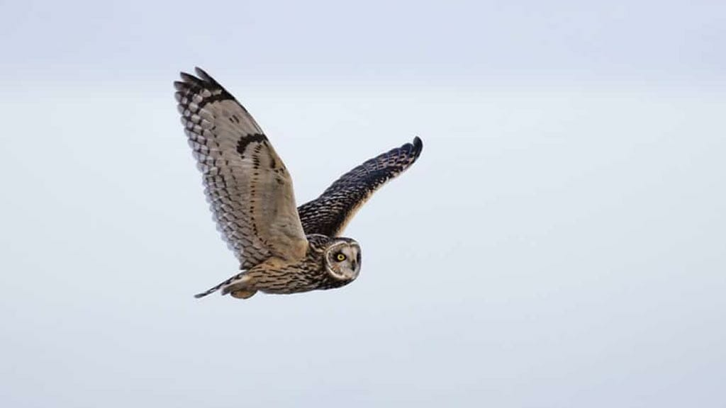 Galapagos short-eared owl flying against a white sky