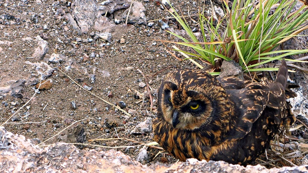 A Galapagos owl lays low looking for food at Genovesa island Galapagos