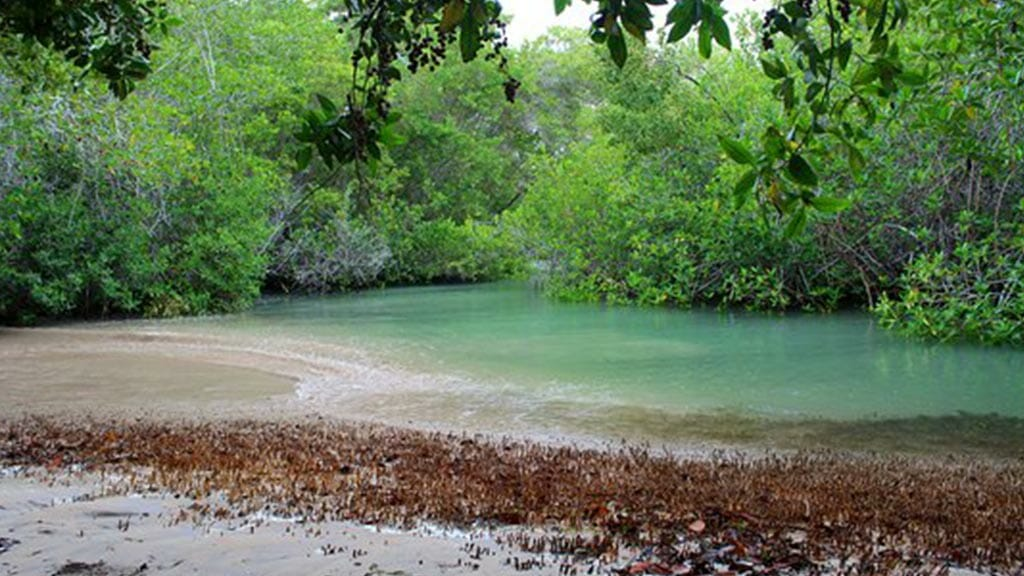 isabela island wetlands (humedales) with brackish pool and mangrove forest at galapagos