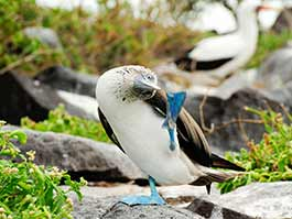 thumb Galapagos blue footed booby bird in funny pose with blue foot raised up to bent over head