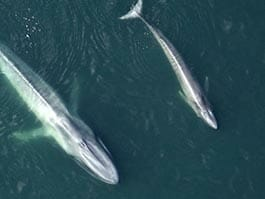 thumb aerial view of mother and calf blue whales swimming at the galapagos islands