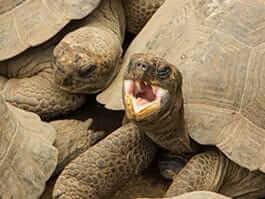 two juvenile giant tortoises together at el chato tortoise reserve santa cruz galapagos