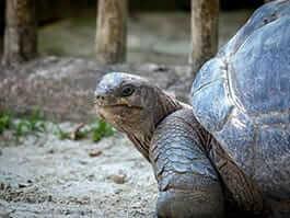 fun giant galapagos tortoise facts