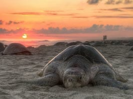galapagos conservation - protection of sea turtles