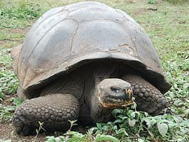a giant galapagos tortoise eating green grass and shrubs at the galapagos islands