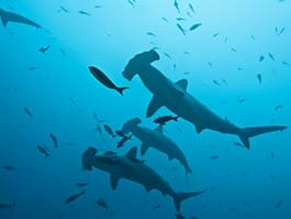 thumb-diving below hammerhead sharks at the galapagos islands