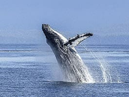 Spectacular humpback whale breaching the ocean at the Galapagos islands