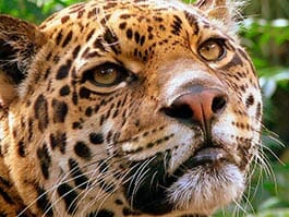 face closeup of ecuador rainforest jaguar