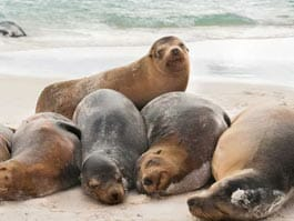 thumb mosquera islet galapagos sealions sleep together on the beach